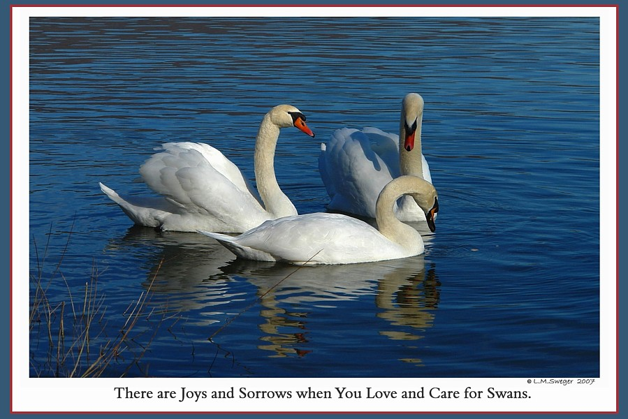 SwanLovers