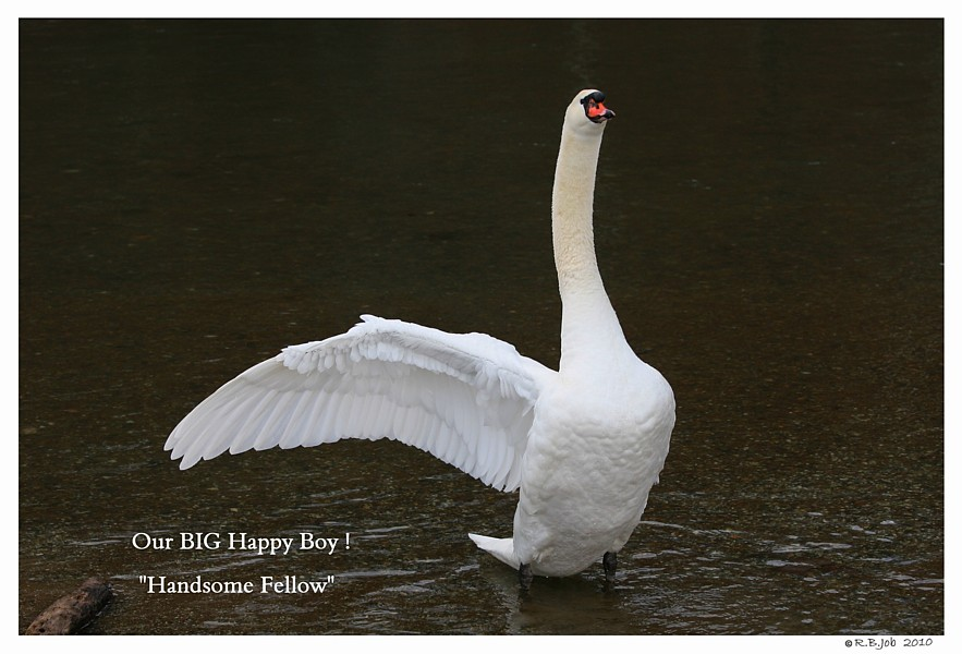 Swan with One Wing