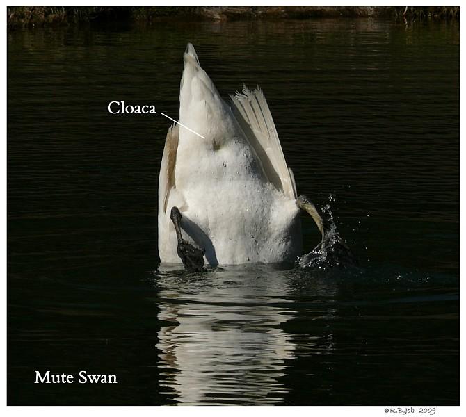 Swan Cloaca