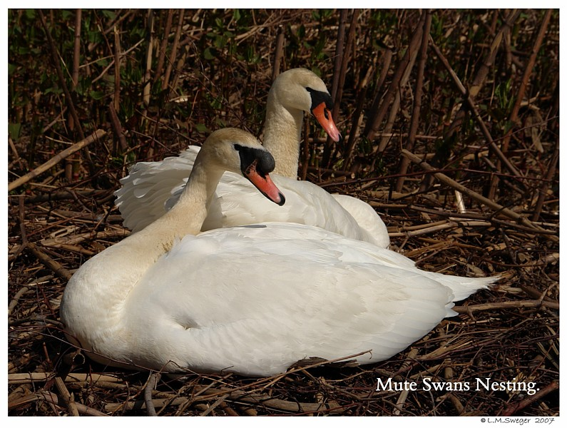 Swans Lonely no more