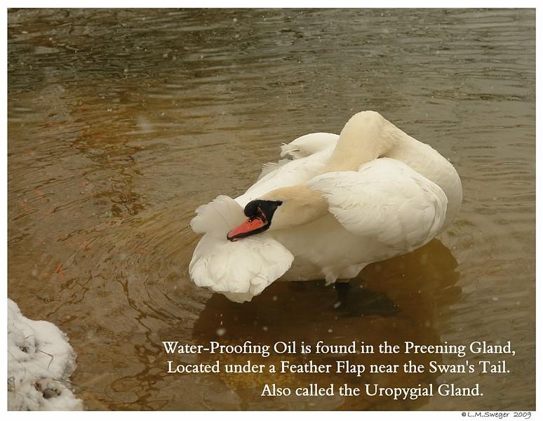 Preening Gland