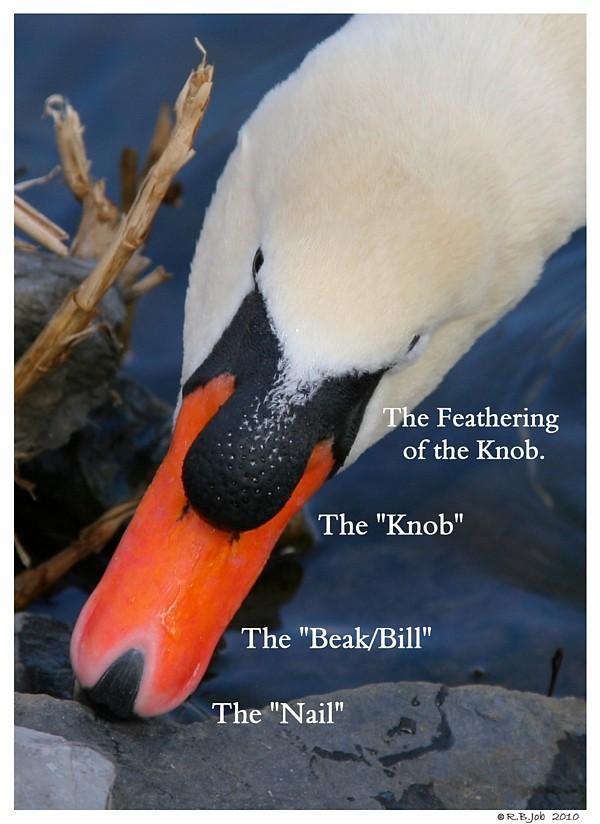 Mute Swan Beak