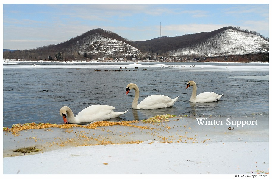 Winter Support for Swans