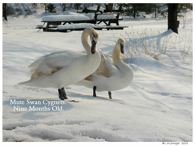 Mute Swan Cygnets Six Months Old