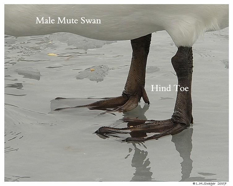 Mute Swan Heel-Hind Toe