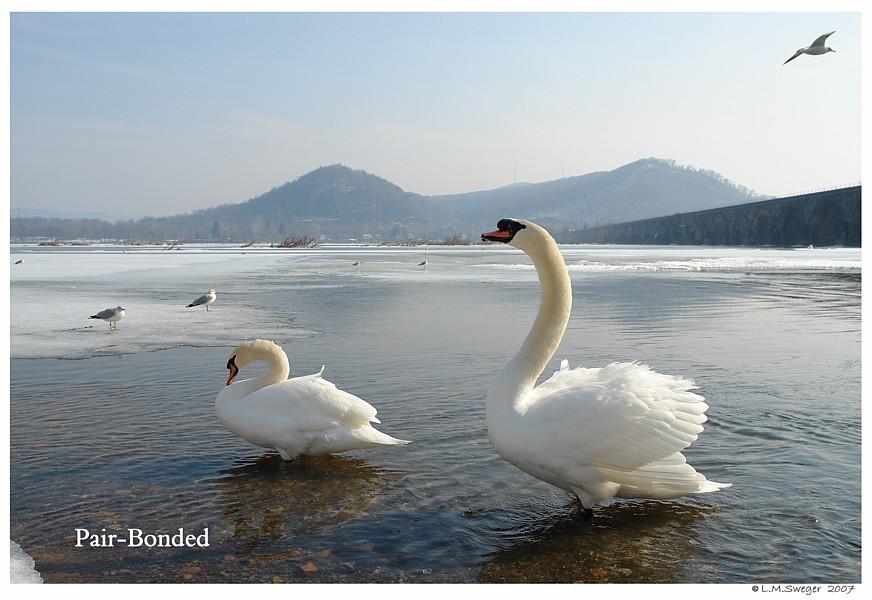 Pair-Bonded Swans