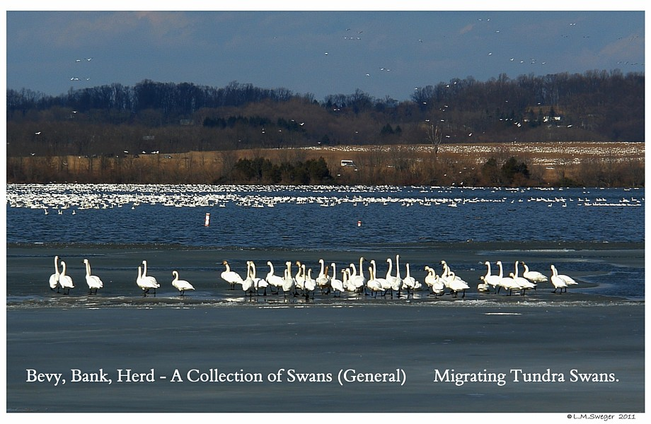 Bevy of Tundra Swans