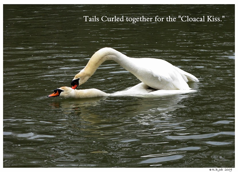 Swans Cloacal Kiss
