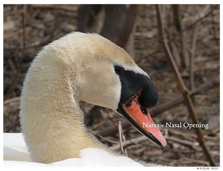 Mute Swan Nares