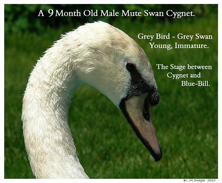 Young Swan Grey Blue