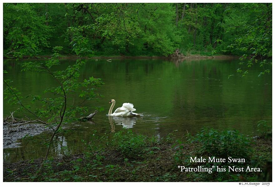 Nesting Swan Patrolling
