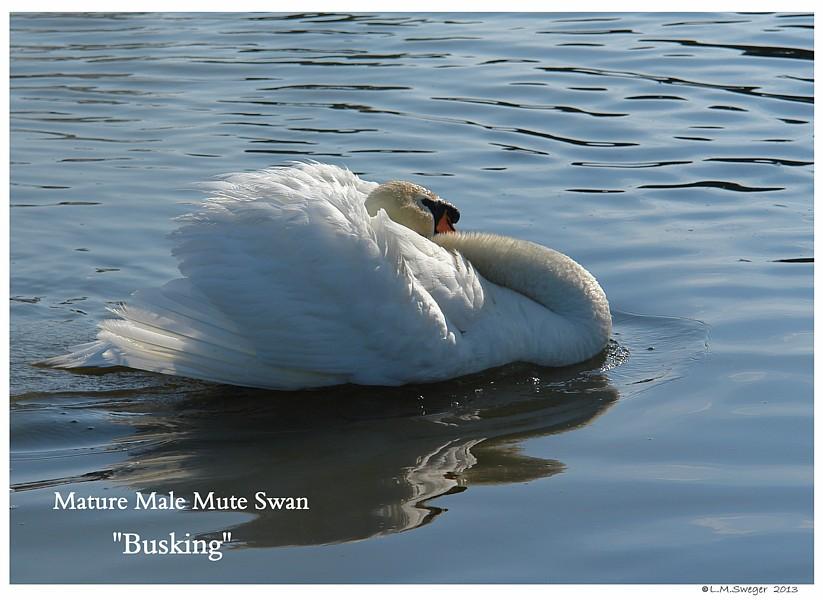 Busking Male Mute Swan