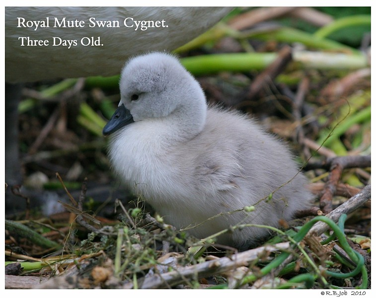 Royal Mute Cygnet