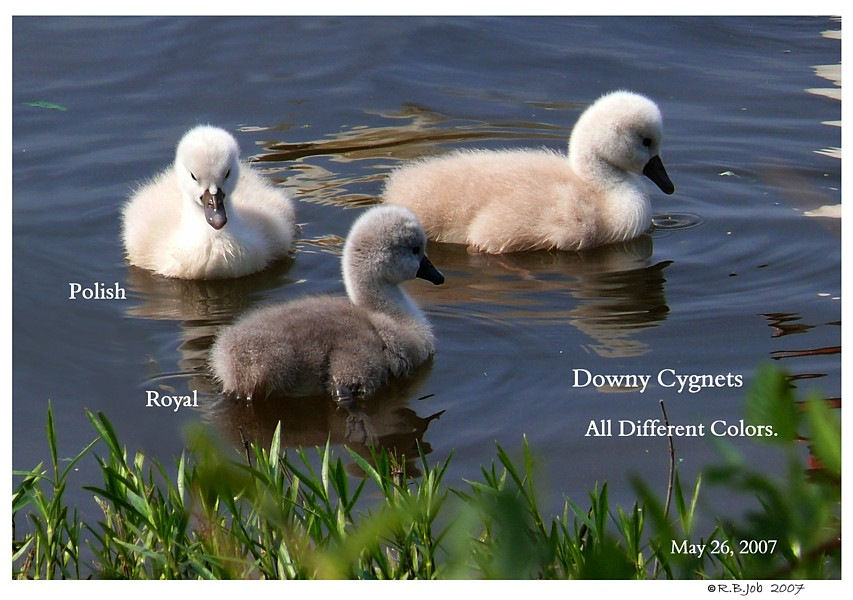Downy Swan Cygnets