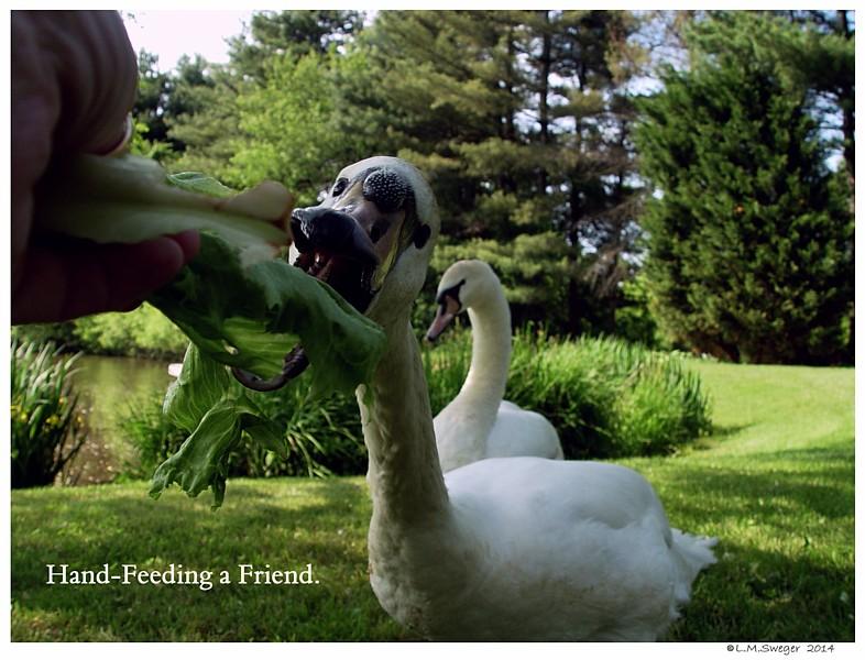 Hand Feeding Swan