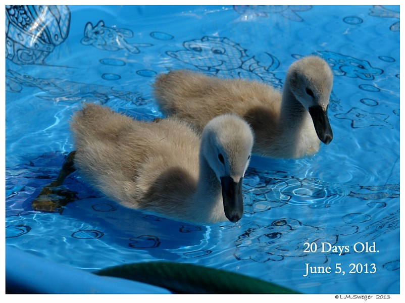 Three Week Cygnets