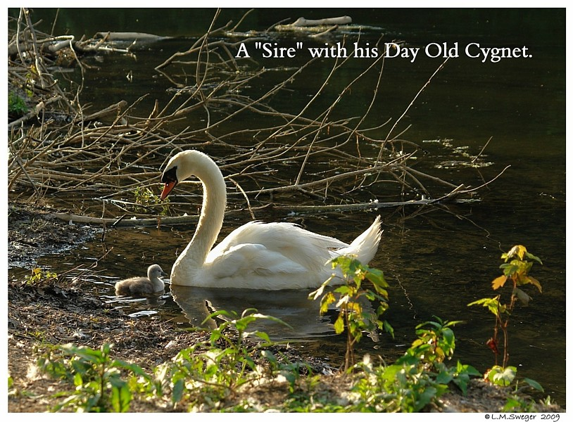 Mute Swan Sire with Cygnet