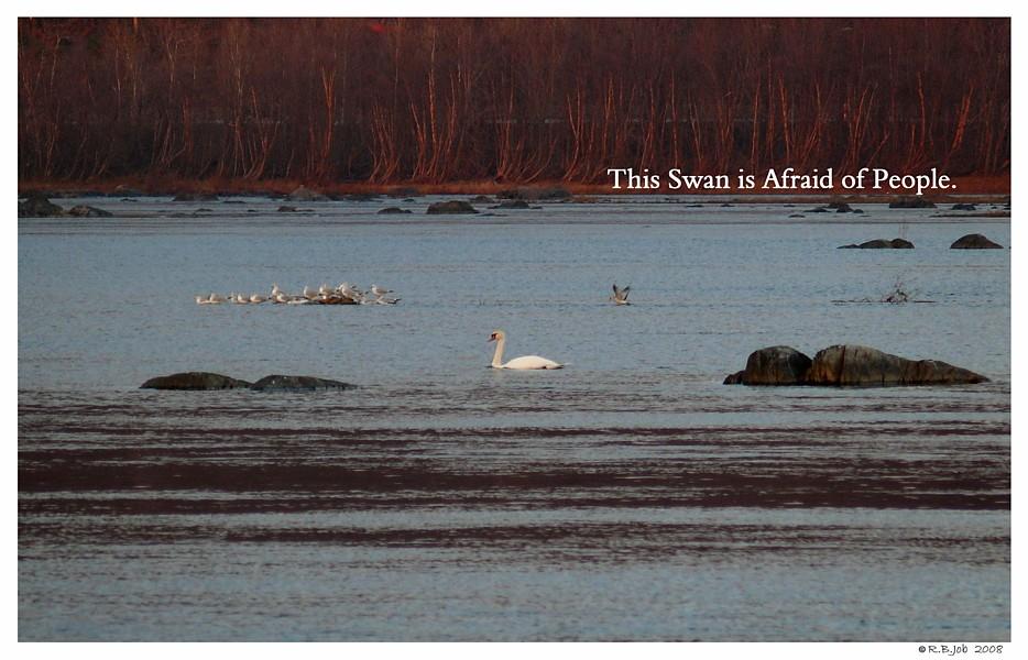 Unsocialized Swans