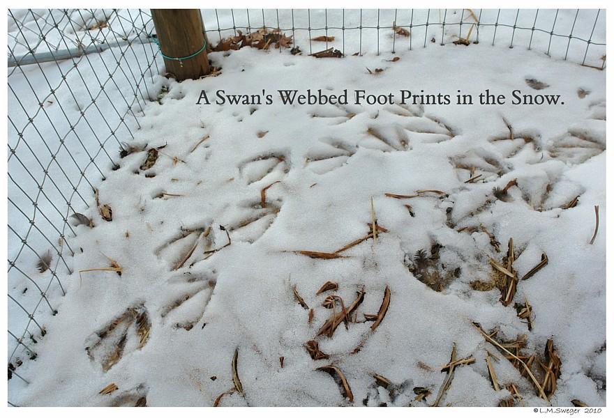 Swan Prints in Snow