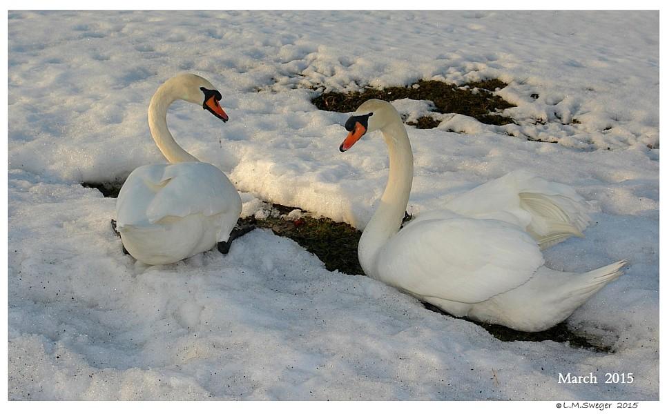 Swan Feet in Water