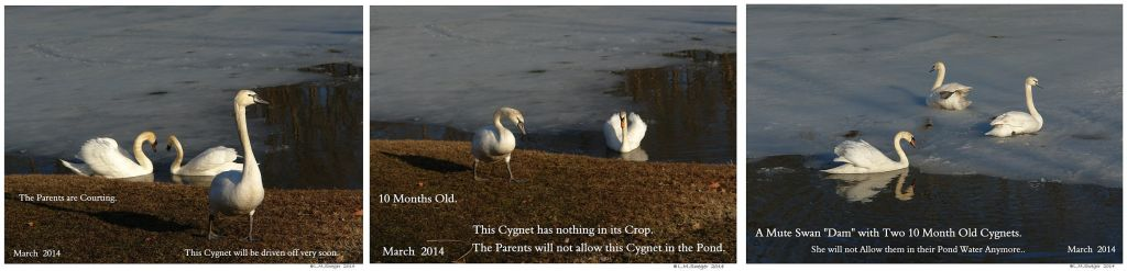 Mute Swan Cygnets 10 Months Old