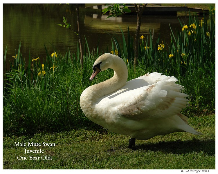 Mute Cygnet One Year Old