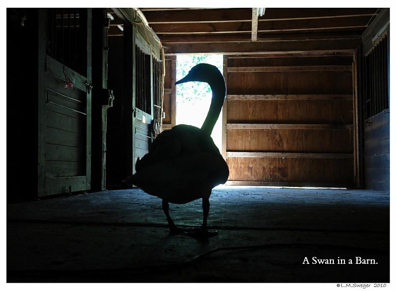 Barn Swan