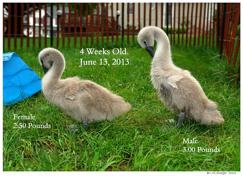 Cygnets Four Weeks Old