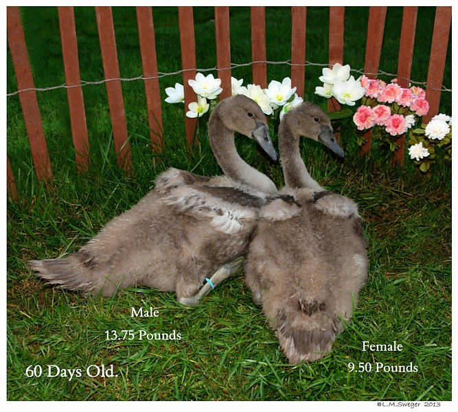 Cygnets Two Months Old