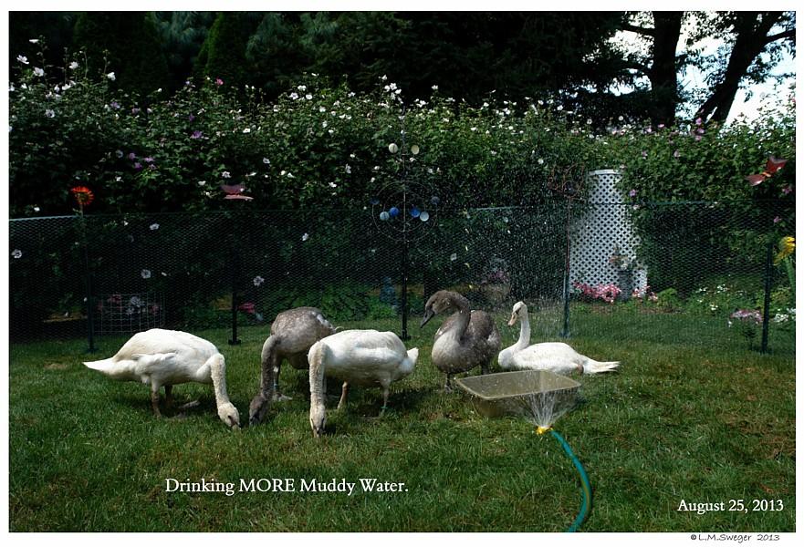 Swan Cygnets Mud