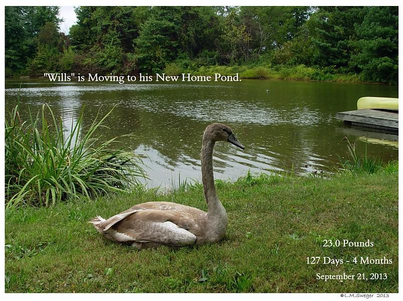 Move Swan Cygnet