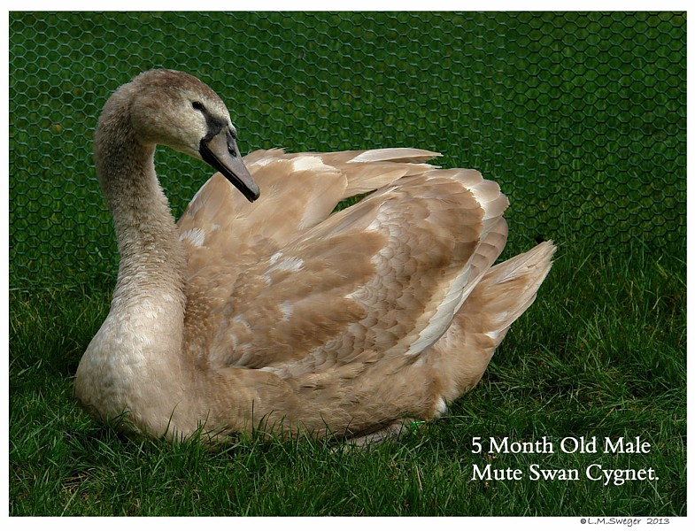 Cygnet Five Months Old