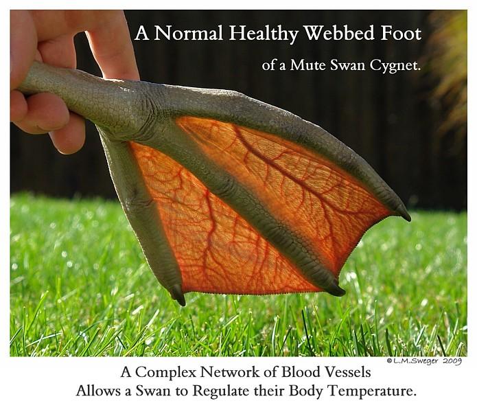Mute Swan Cygnet Webbed Foot