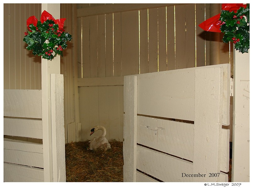 Swan in Winter Shelter