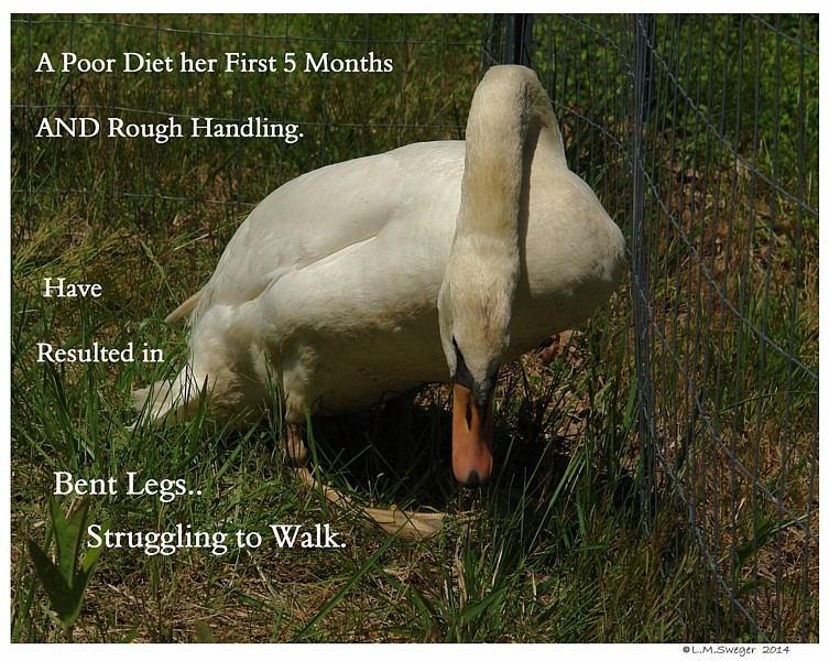 Swan Cygnets Fragile Legs