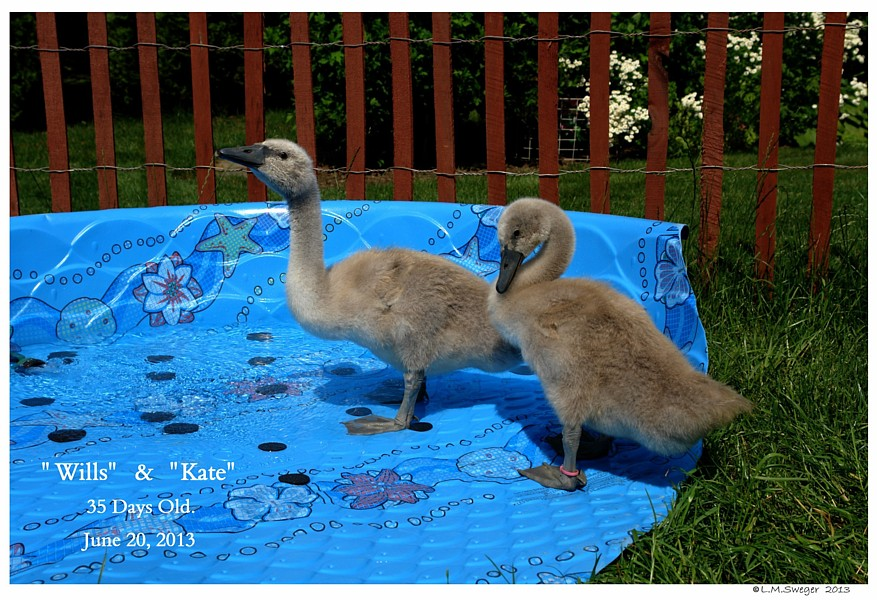 Cygnets Five Weeks Old