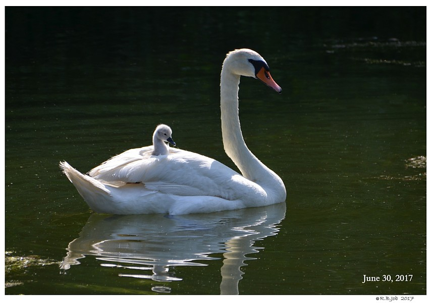 Cygnet on Back
