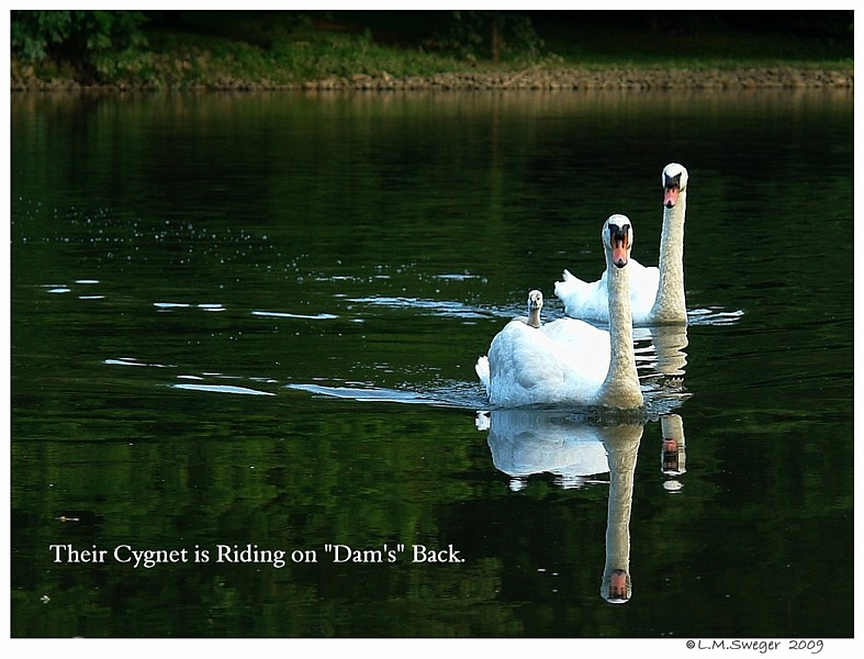 Cygnet Riding on Back