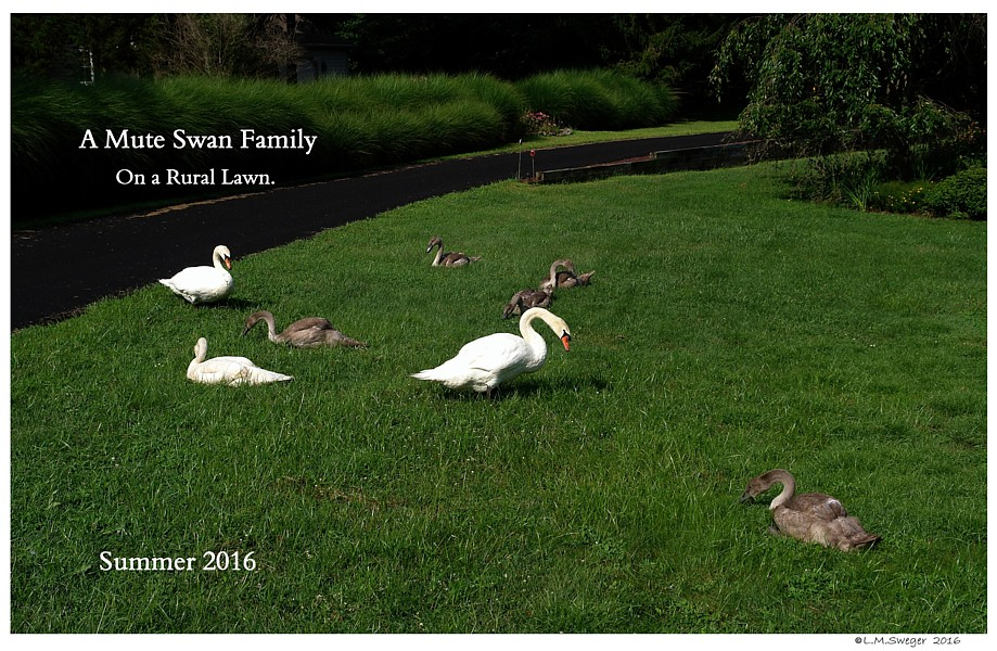 Mute Swan Family Grazing