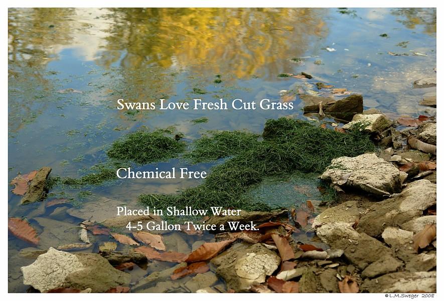 Swan Cut Grass