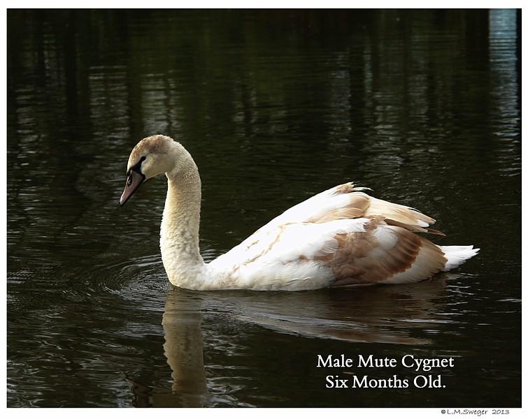 Mute Swan Cygnet 6 Months Old
