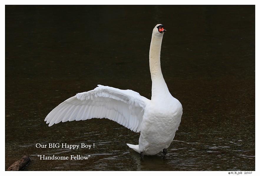 Happy Swan