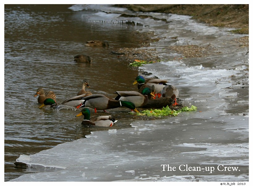 Ducks Clean Up Crew