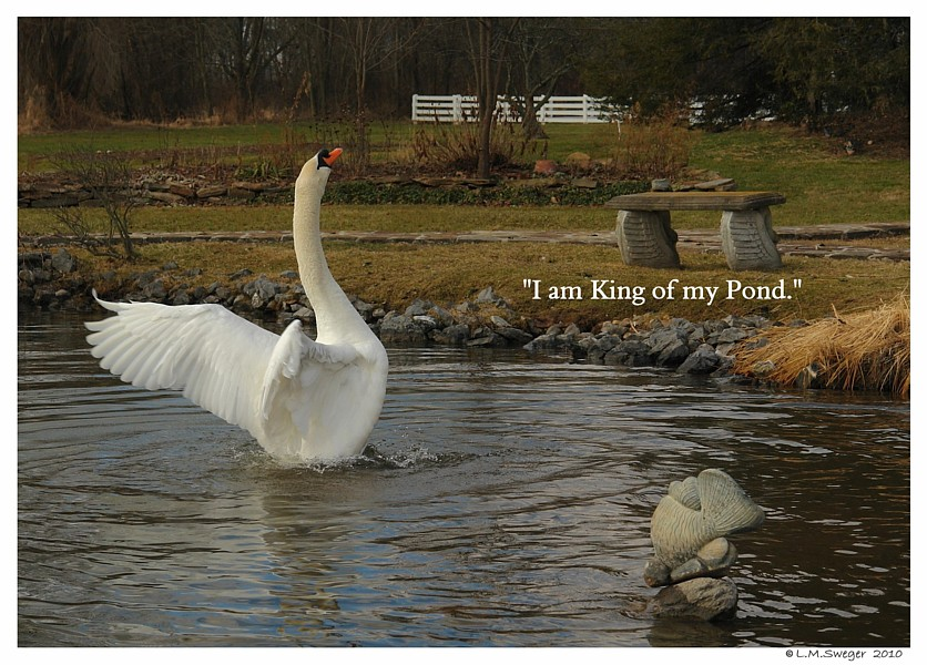 Swan King of his Pond