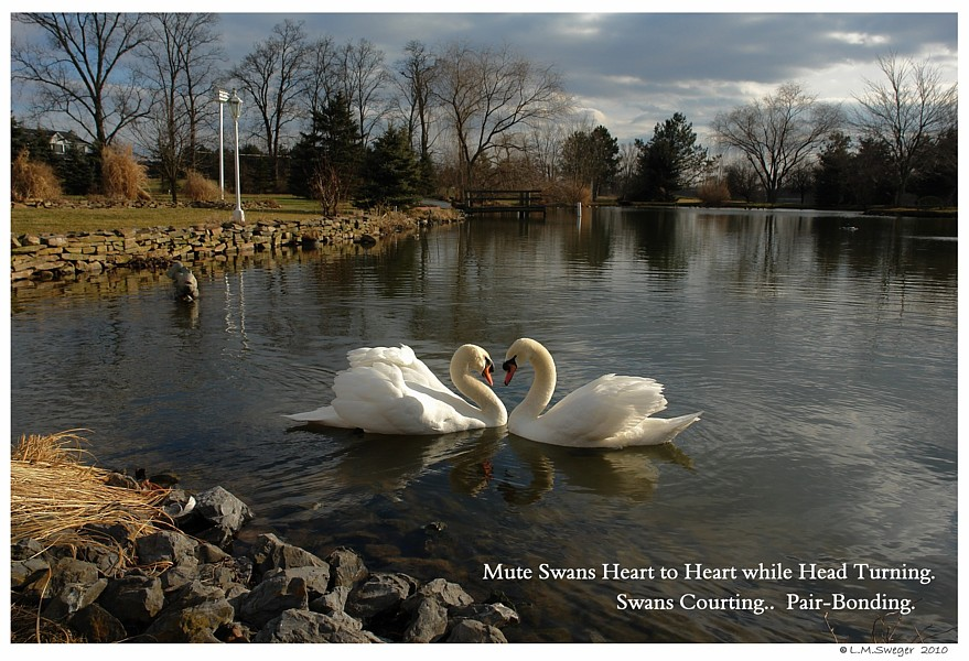 Swans Bonding Behavior