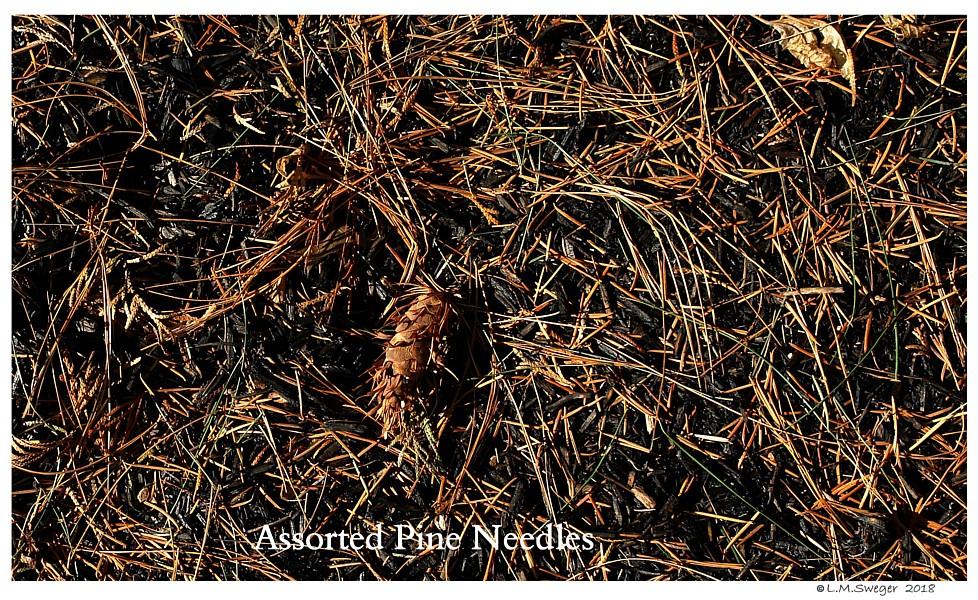Swan Pine Needles