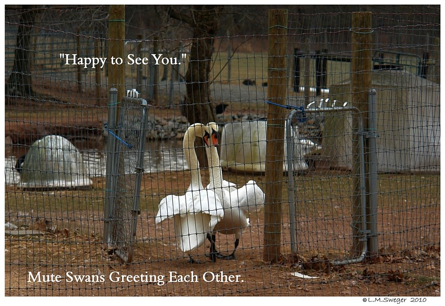 Swans Greeting Each Other
