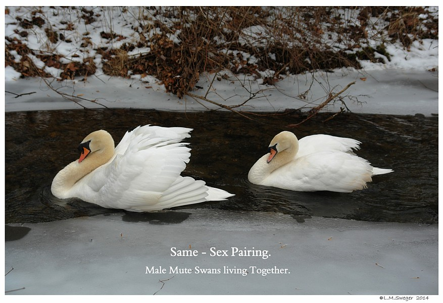Same Sex Male Mute Swans