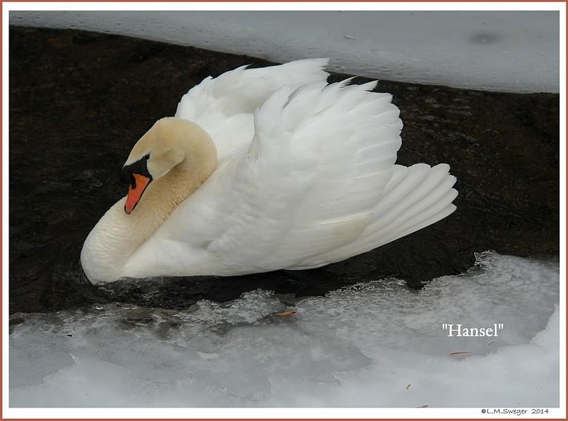 Male Mute Swan Hansel