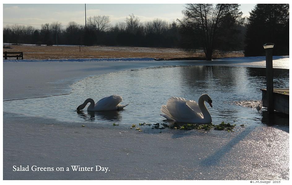 Feeding Winter Swans